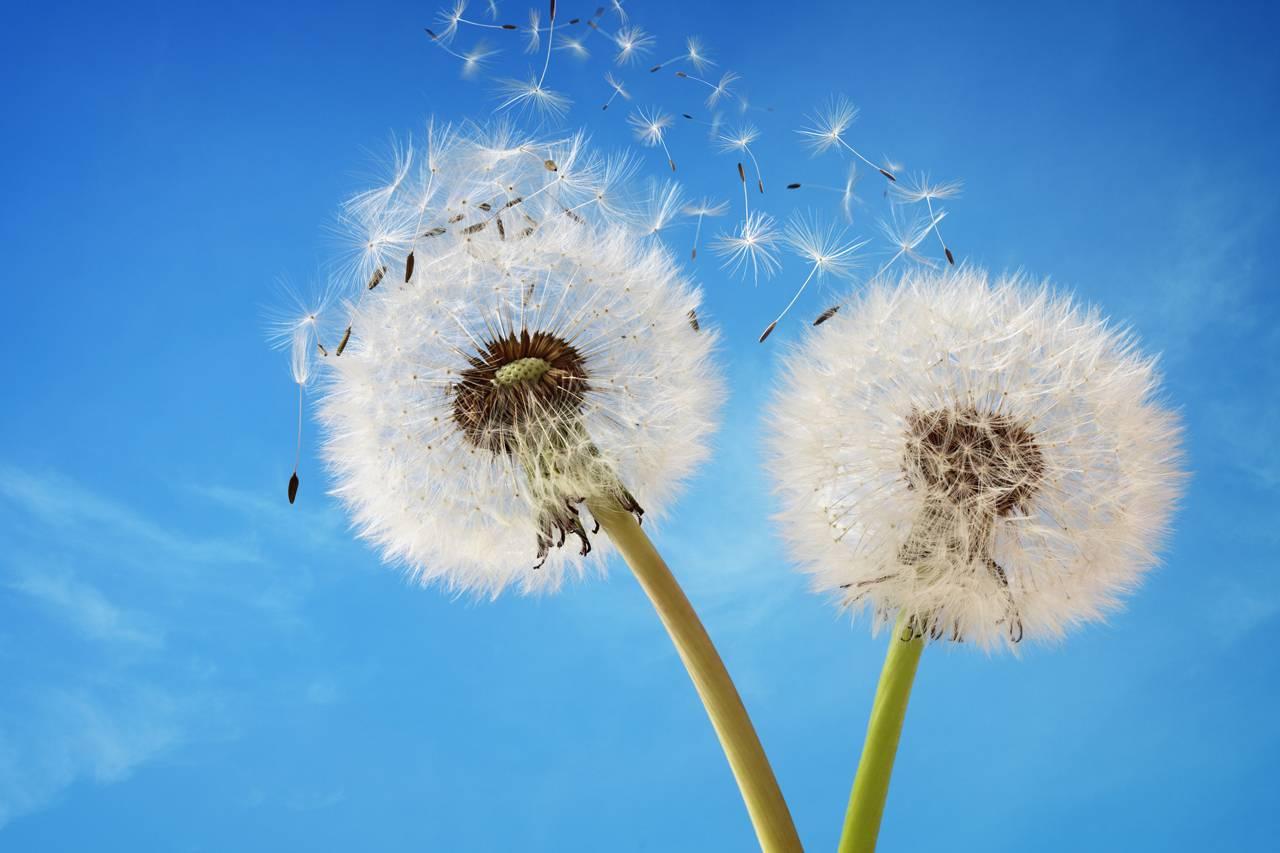 allergy-dandelion