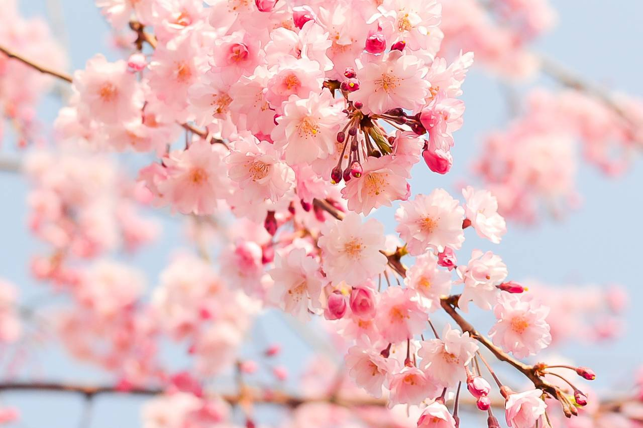 spring-flowers-cherries